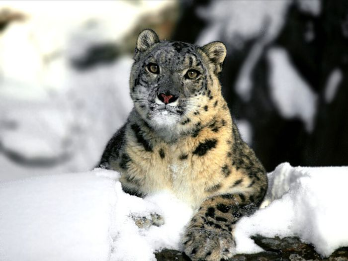 Relaxing_Snow_Leopard (700x525, 47Kb)