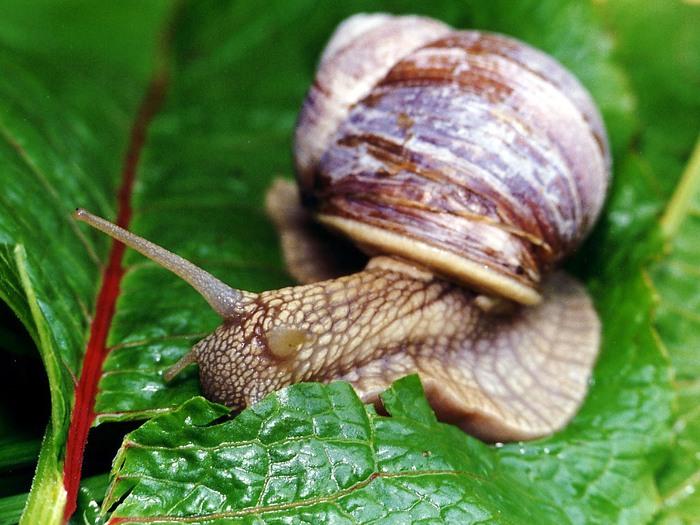 Snail (700x525, 115Kb)