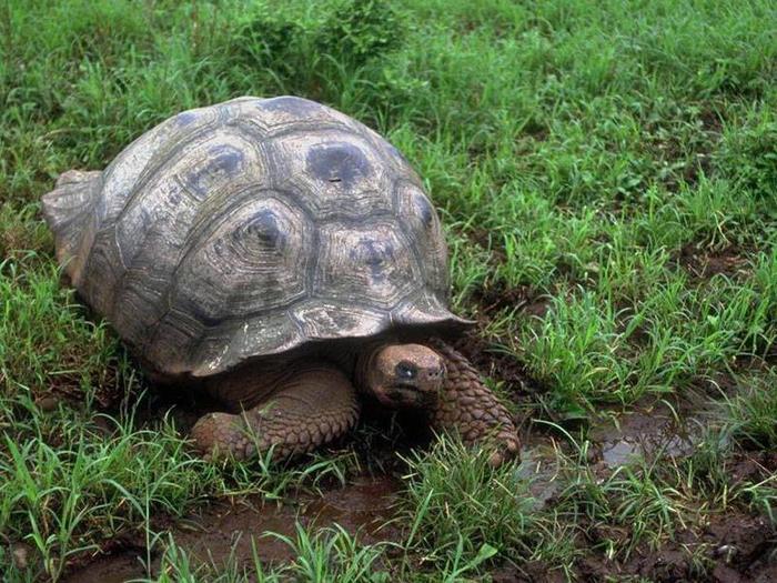 Tortoise (700x525, 95Kb)