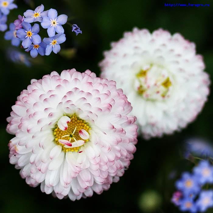 vv_flower_daisy_6_h_orig (700x700, 112Kb)