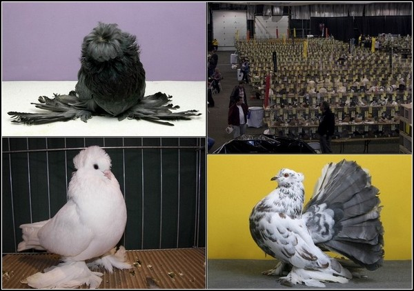 3518263_pigeonshow4_1jpg (600x422, 73Kb)