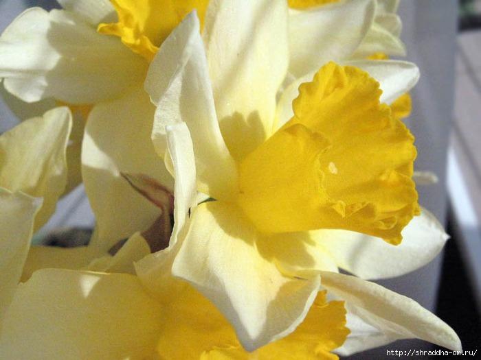 весна, нарцисс, апрель, Shraddha (700x525, 161Kb)