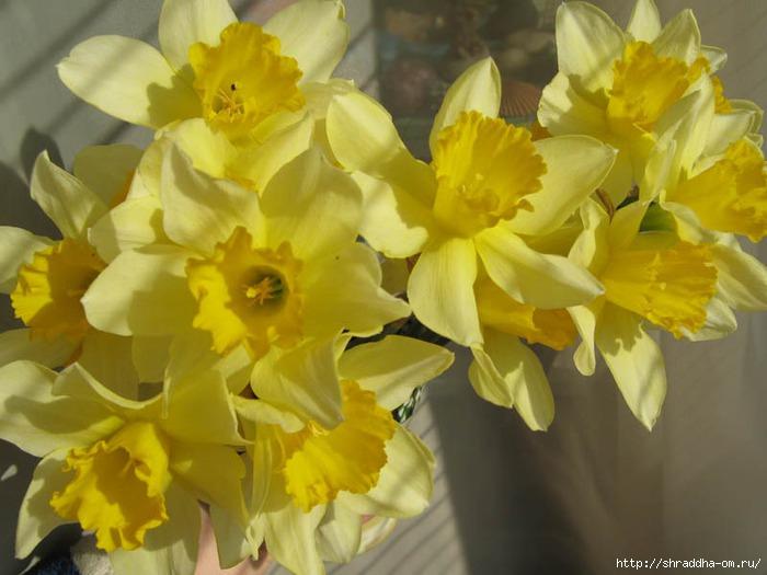 весна, нарциссы, апрель, Shraddha (700x525, 166Kb)