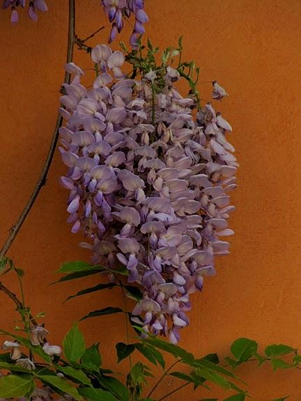 …Ласково цветет глициния - она нежнее инея 57411