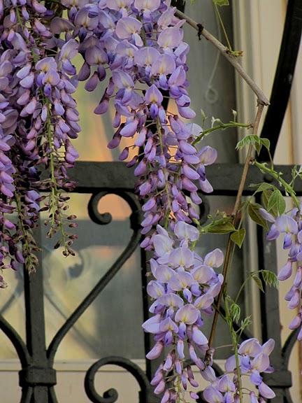 …Ласково цветет глициния - она нежнее инея 67792