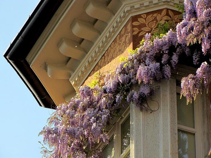 …Ласково цветет глициния - она нежнее инея 12078