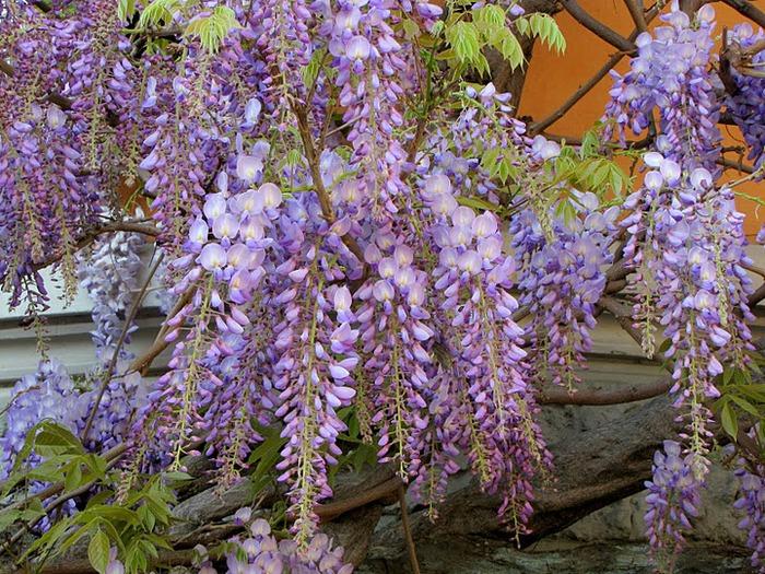 …Ласково цветет глициния - она нежнее инея 17638