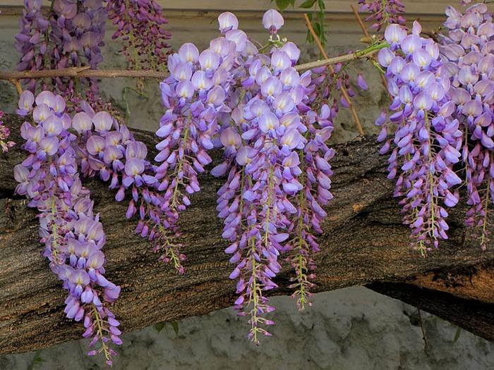 …Ласково цветет глициния - она нежнее инея 97901