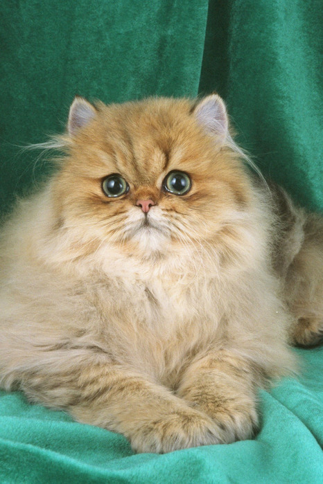 458056-Persian-golden (466x700, 123Kb)