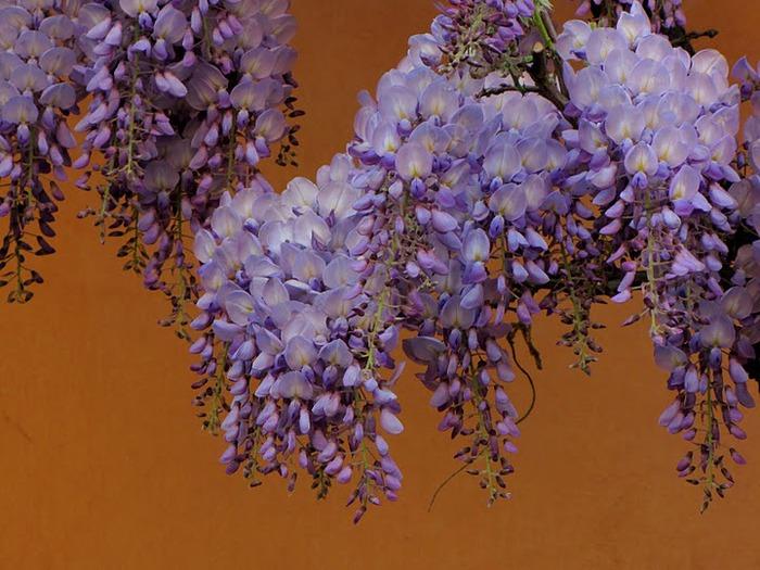 …Ласково цветет глициния - она нежнее инея 80557