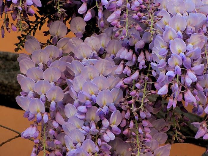 …Ласково цветет глициния - она нежнее инея 64563