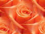 Превью 60553943_1277017883_roses_8 (580x434, 49Kb)