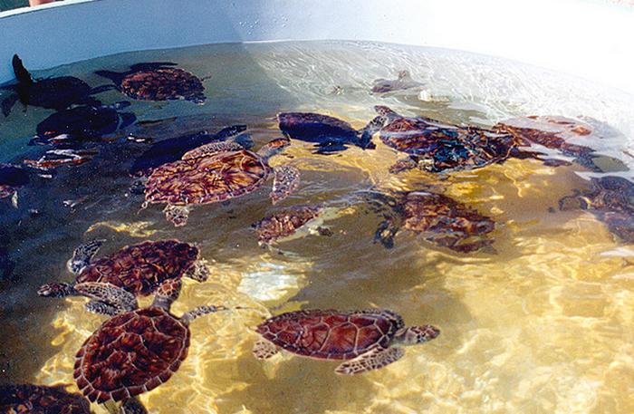 Cayman Islands Turtle Farm - Display Tank  Flickr - Photo Sharing! (700x457, 861Kb)