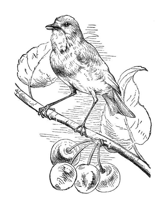 bird001 (560x700, 101Kb)