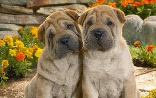 Proshots - Shar-Pei Pups - Professional Photos (549x347, 509Kb)