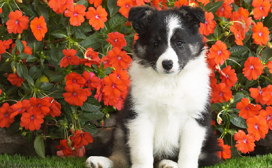 Proshots - Shetland Sheepdog Puppy - Professional Photos (550x341, 489Kb)