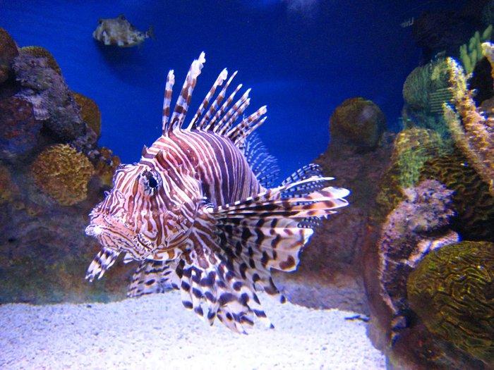 Rotfeuerfisch (700x525, 94Kb)