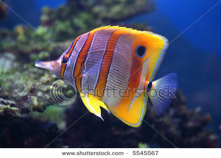 stock-photo-colourful-sixspine-butterfly-fish-floats-in-an-aquarium-5545567 (450x321, 58Kb)