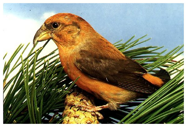 crossbill6 (596x404, 75Kb)