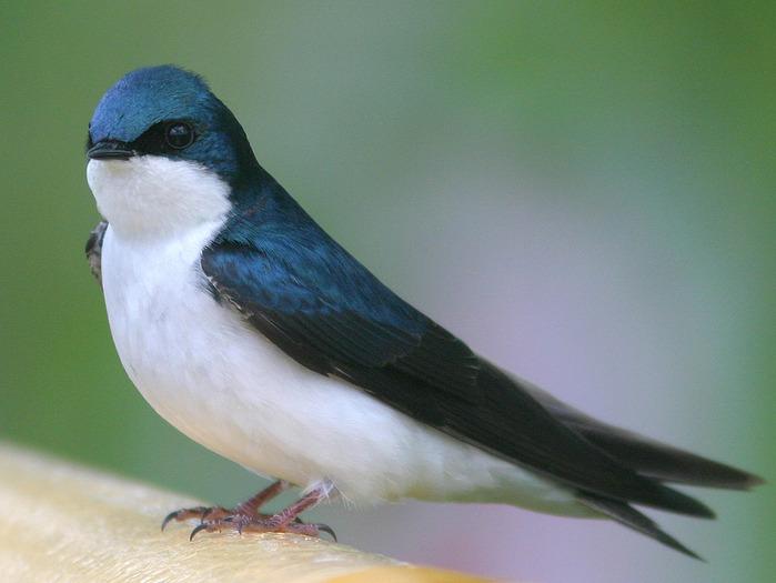 swallow-1 (700x525, 99Kb)