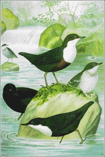 Dipper (366x545, 73Kb)