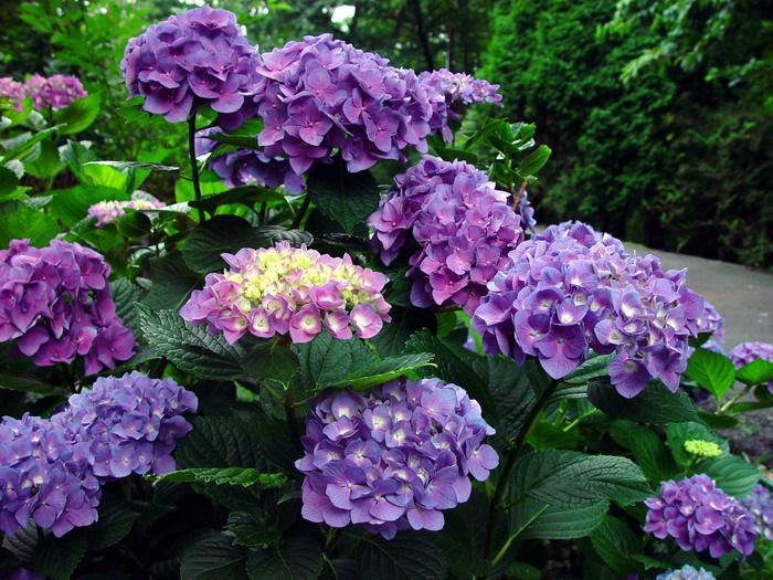 flowering shrubs and trees Common hydrangea Hydrangea hortensis.