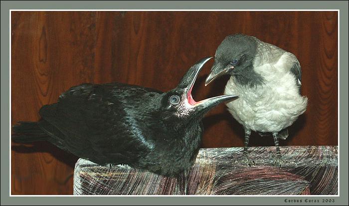 ворон и ворона (700x415, 50Kb)