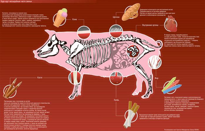 Куда идут несъедобные части свиньи (700x447, 105Kb)