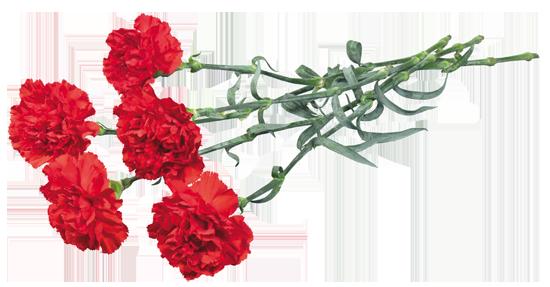 гвоздика (550x287, 170Kb)