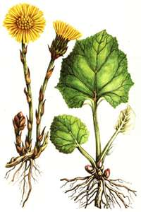 coltsfoot (200x300, 11Kb)