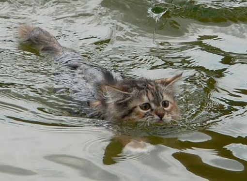 Swin_cats_15 (510x374, 50Kb)