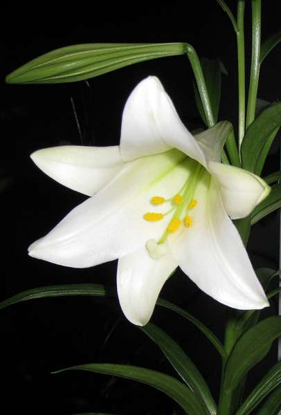 lily-easter-2 (406x600, 18Kb)