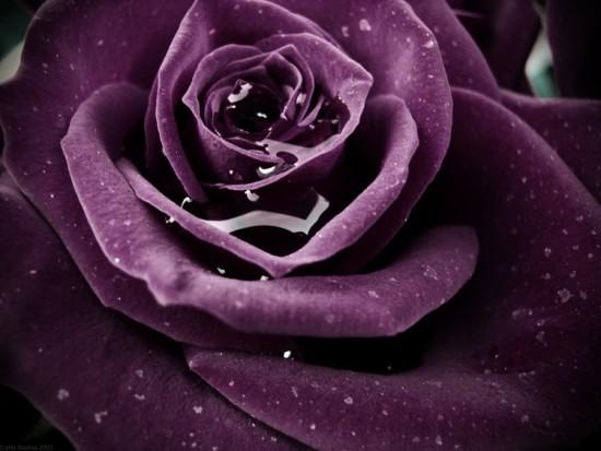 Flowers--My-Album-1--rosas--flores--Kwiaty--funny--comments_large (7000x563, 51Kb)