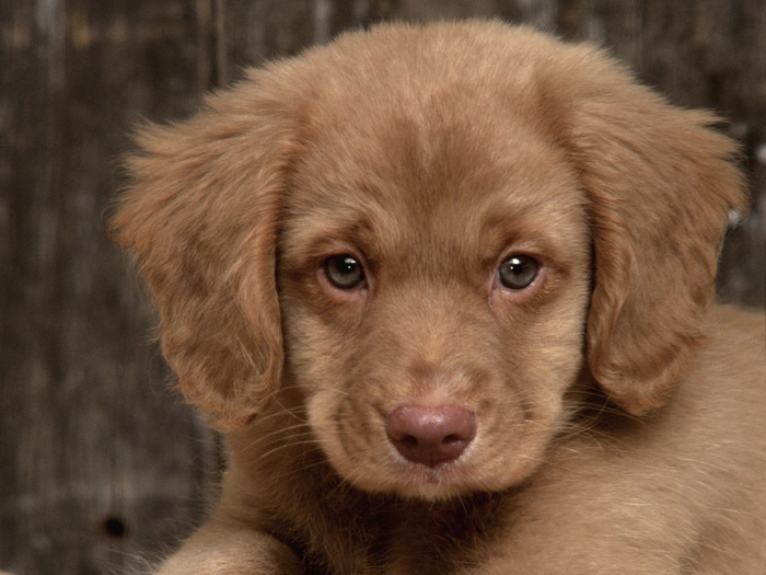 buck-nova-scotia-duck-tolling-retriever-original (700x525, 99Kb)