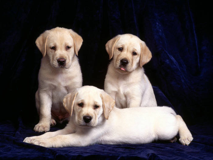 trinity-labrador-puppies (700x525, 86Kb)