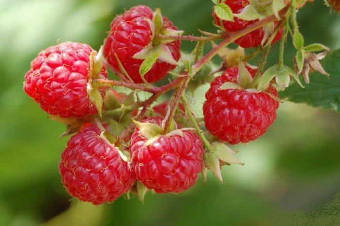 Raspberry_01 (700x465, 46Kb)