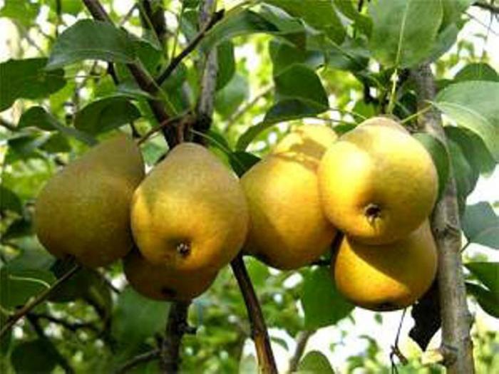 Груша (лат.  Pyrus) - род плодовых и…