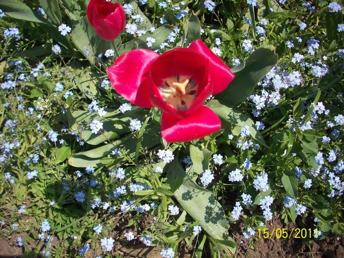 тюльпан/4348076_104_0934 (700x525, 402Kb)