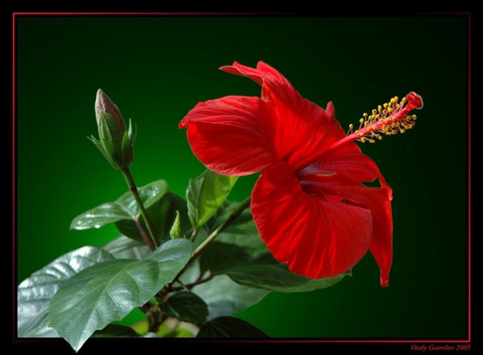 В доме, где цветет китайская роза, обязательно будут жаркие ночи в объятиях любимого мужчины.