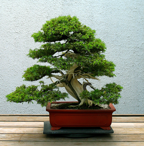 bonsai_6 (494x500, 261Kb)