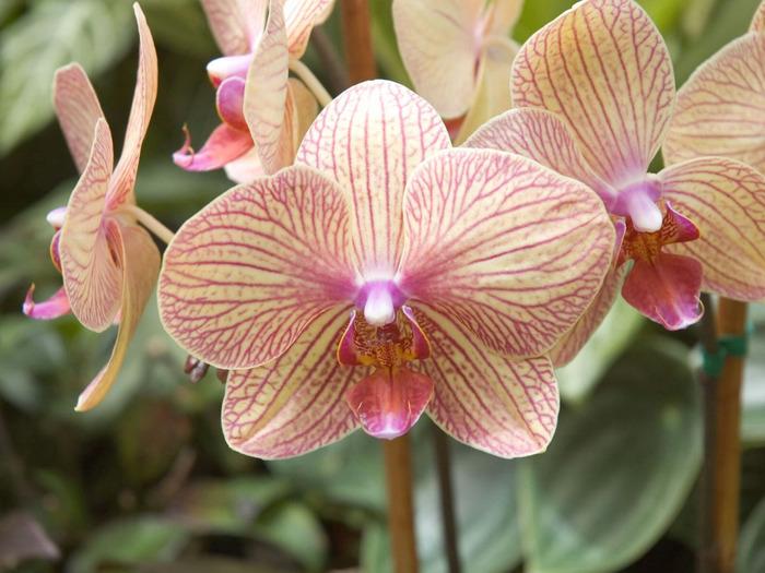 1215744320_1024x768_phalaenopsis-nivacolor (700x525, 128Kb)