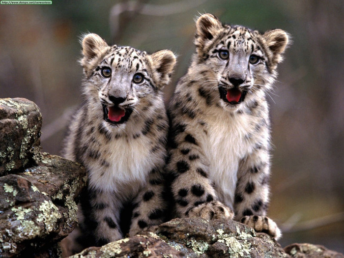 Double Trouble, Snow Leopard Cubs (700x525, 146Kb)