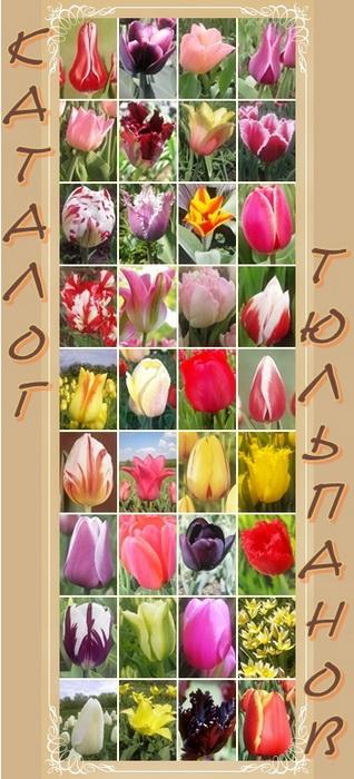 Каталог тюльпанов  (318x700, 118Kb)