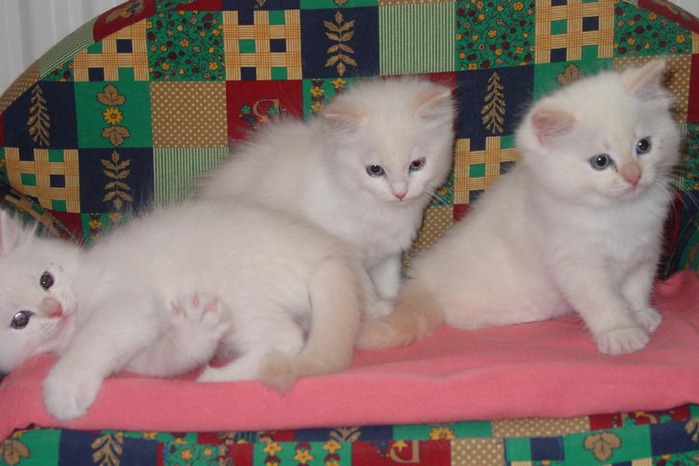 02RagKittenCream2M0202 (700x466, 80Kb)