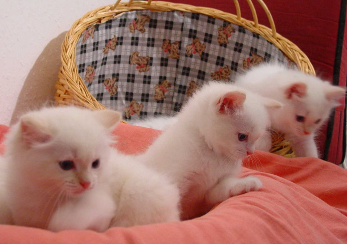 02RagKittenCream2M0259 (700x491, 102Kb)