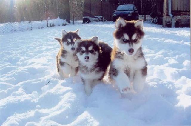 Описание этой...  Сибирский хаски (англ.  Siberian Husky) - порода собак...