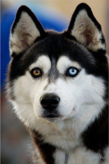 Хаски, да - самая любимая собака среди зоофилок.