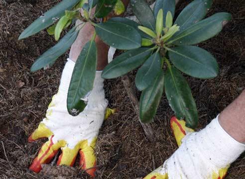 При посадке рододендрона очень важно