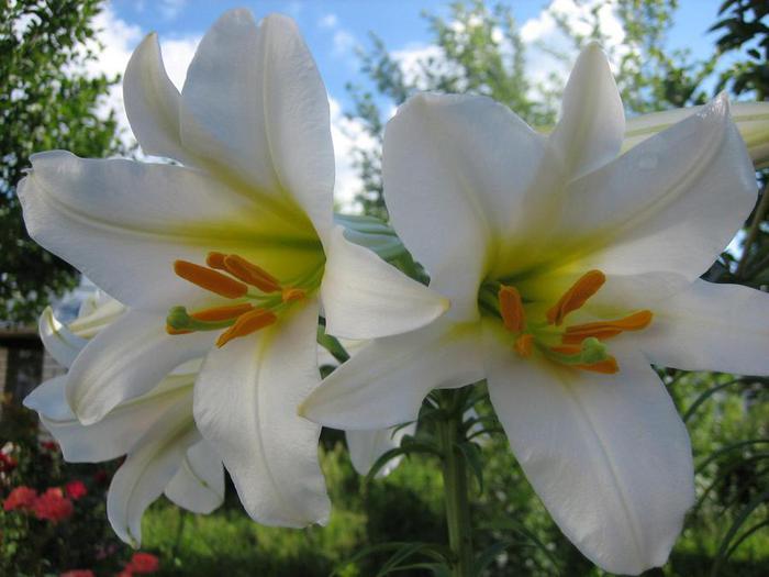 Цветы белые лилии картинки 8