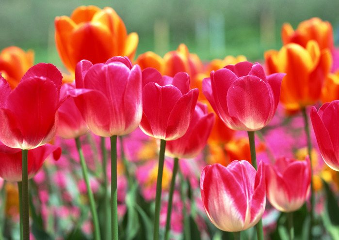 tjulpany-cvety-k-8-marta (700x496, 110Kb)